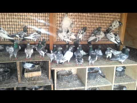 UAE PIGEONS