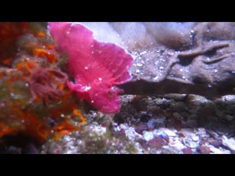 Pink Taenianotus Triacanthus Ro Leaf Scorpion Fish And Gorilla Crab