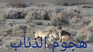 صراع الذئب والكلب#
