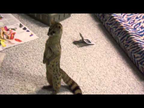 Exotic pet spotted genet standing like a human