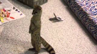 Exotic pet spotted genet standing like a person