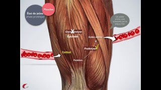 Métabolisme à l'état de jeûne: phase protéique