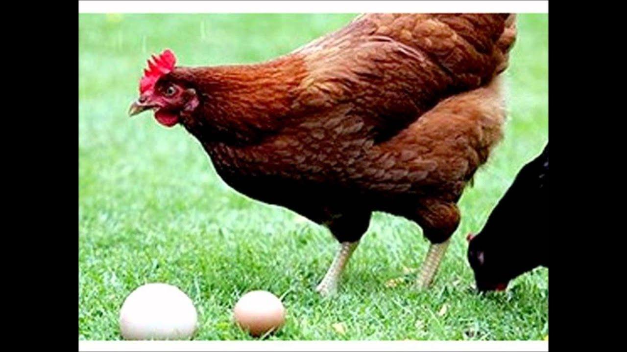 Cacareco da galinha