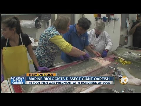 Marine biologists perform dissection on oarfish that washed ashore in Oceanside