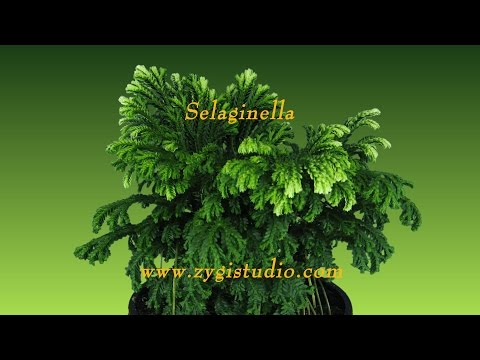 Time-lapse Of Growing Selaginella Plant.