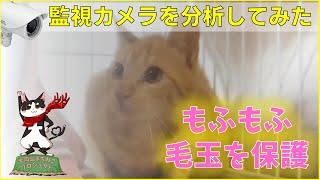 【子猫保護】もふもふ毛玉を保護、ちゃとらん。監視カメラを分析してみた