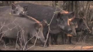 Охота на кабана в Краснодарском крае.