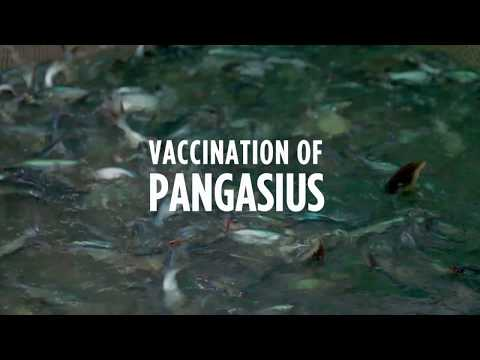 PHARMAQ Vaccination Of Pangasius In Vietnam
