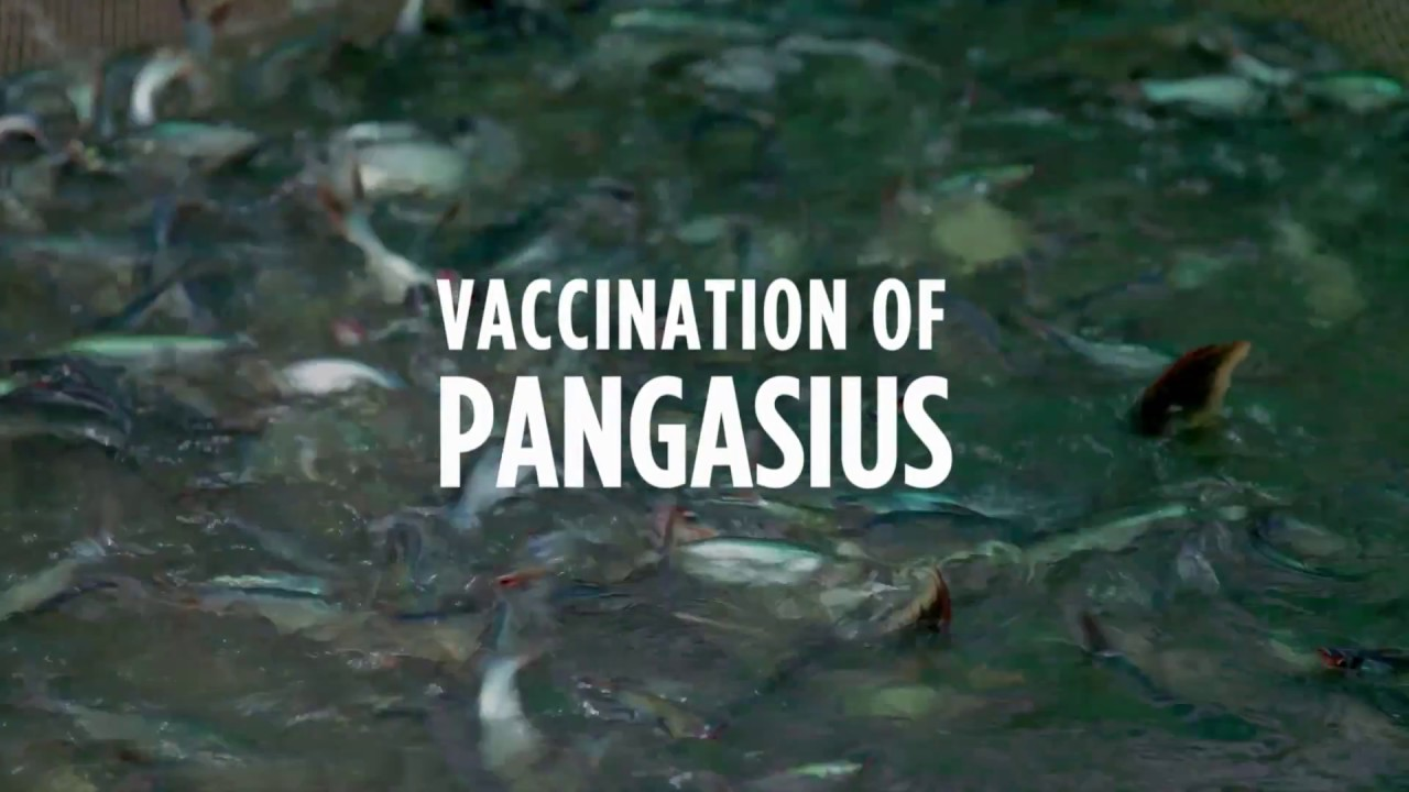 Vaccination of fish   Products & support   Pharmaq