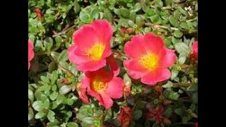 Purslane🌝गर्मी का पौधा- GROW & CARE PORTULACA / PURSLANE / MOSS ROSE ||Best summer flower plants