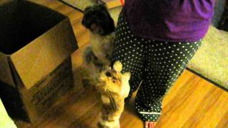 Shorkie And Shih Tzu Cry And Jump For Kitten