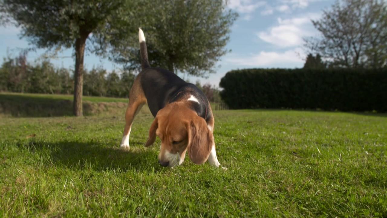 Download Rashond van de week Beagle