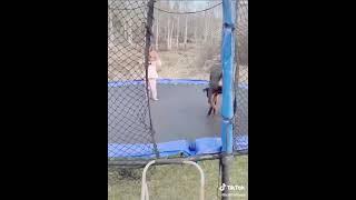 Собака прыгает на батуте Смешное видео с собаками Видео приколы ТикТок