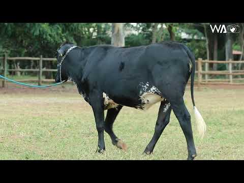 LOTE 48 - 9307 BM - 7º Leilão Gir & Girolando Genética Aditiva