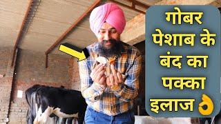पशु के गोबर पेशाब के बन्द का इलाज Treatment of Urine & Dung Blocked in Cattle