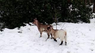 Kozy miniaturowe na wybiegu