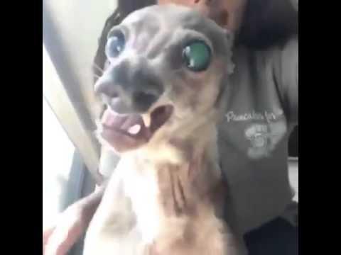 Cachorro Feio E Engraçado