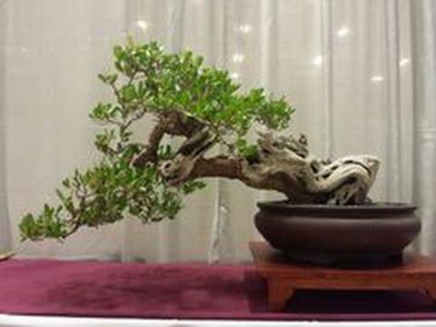 Buttonwood Bonsai Tree Youtube