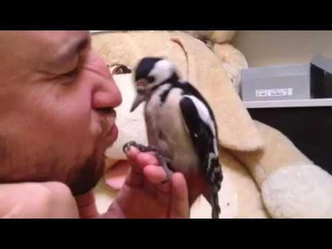 Птица дятел описание с фото, видео и картинками, где