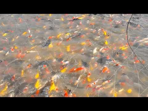 ปลาคาร์ฟบ่อดิน amnuay sri farm