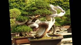 Декоративноре дерево  бонсай   Японское искусство бонсай(Декоративное дерево бонсай вырастить непросто. Нужно быть одновременно и дизайнером, и художником, и, конеч..., 2015-05-18T11:54:05.000Z)