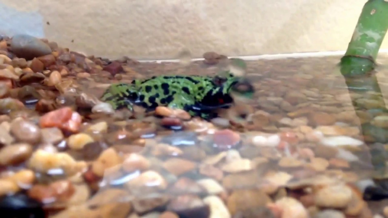 How to Care for a Fire Bellied Toad (Bombina Orientalis) forecasting