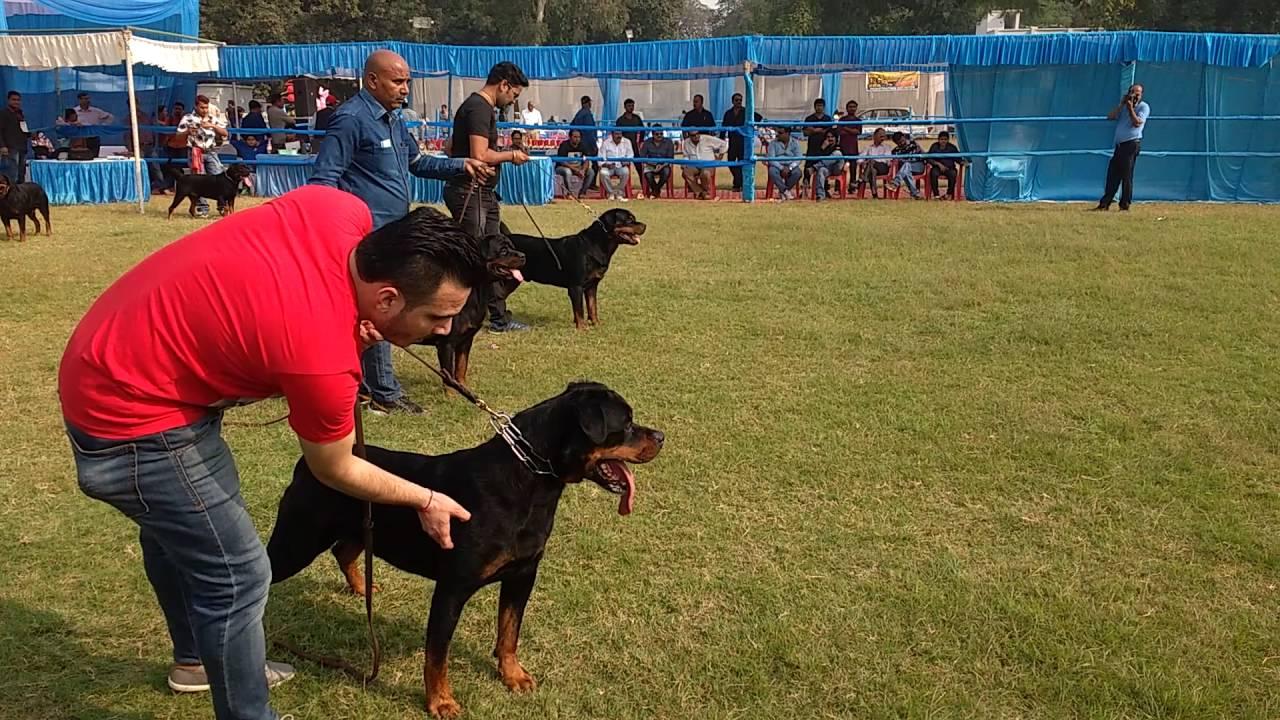 Dog show in Lucknow (K.C.I DOG SHOW )   FunnyDog.TV