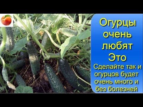 Огурцы очень любят Это Сделайте так и огурцов будет много Без болезней Cucumbers grow well from this