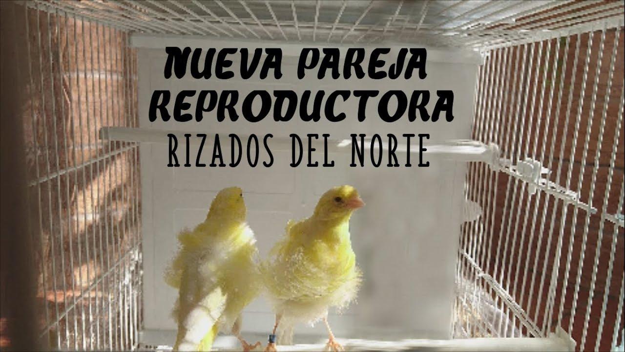 Nueva Pareja Reproductora Para 2018 Rizados Del Norte