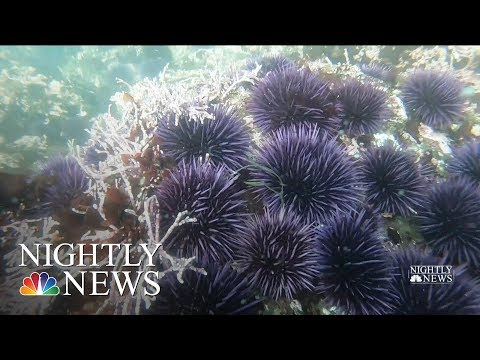 Northern California's Kelp Forests In Danger, Impacting Larger Ocean Ecosystem | NBC Nightly News