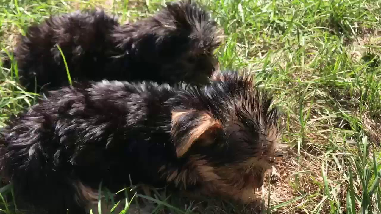 Teacup Yorkie Puppies For Sale near Greensboro NC