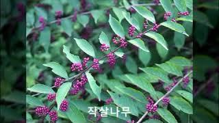 수목감별 : 수수꽃다리~중국단풍
