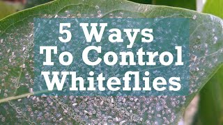 5 Ways to Control Whiteflies