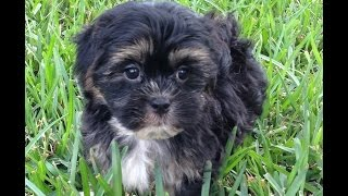 Malshi Or Maltese Shih Tzu Pups For Sale Florida - Michelines Pups