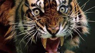 Tiếng con hổ gầm - Chúa sơn lâm gầm rú - vang rừng