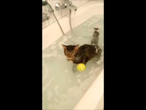 Maine Coon Katze schwimmt in der Badewanne / Maine coon cat swims in bath
