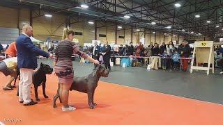 КАНЕ-КОРСО. Выставка собак FCI CACIB 20.03.2016 в Риге