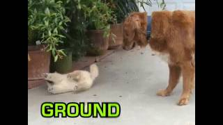 The attention span of a Golden Retriever puppy Video