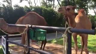 Panda camel 2
