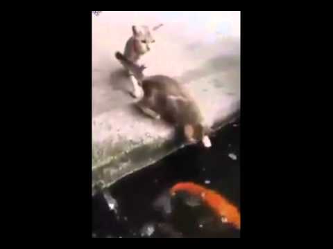 Koi fish eats cat youtube for Fish videos for cats