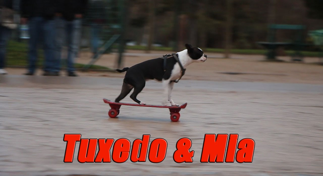 Roller skates for dogs - 2 Boston Terrier Skateboarding Dogs Tuxedo And Mia At Eiffel Tower Paris