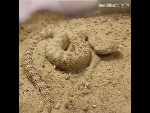 Cobra se esconde na areia