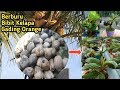 - Mencari Bibit kelapa gading orange untuk Bonsai Kelapa