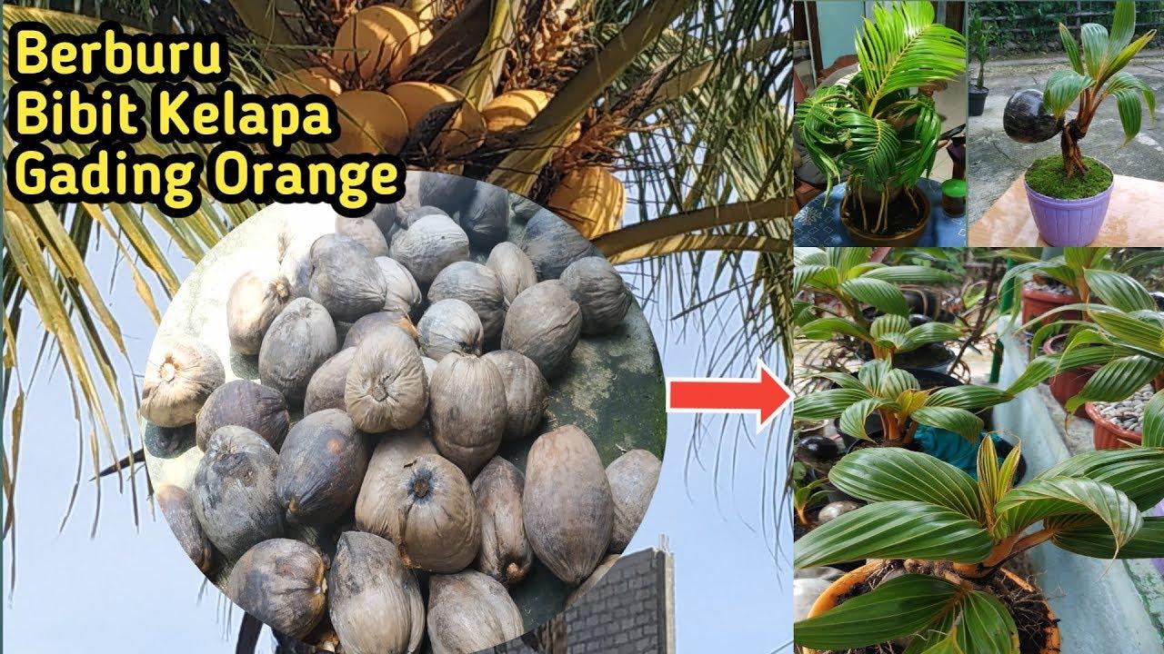 Mencari Bibit Kelapa Gading Orange Untuk Bonsai Kelapa Youtube