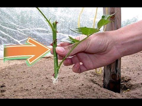 Как садить черенки роз осенью