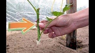 Размножьте розы черенками в грунт этим способом осенью, для красивого цветения на следующий год!
