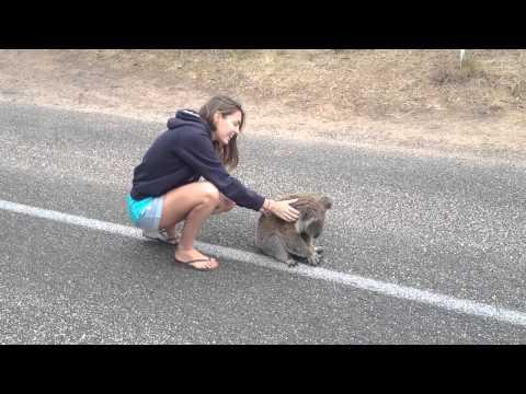 Australia Se dejan tocar los koalas? thumbnail
