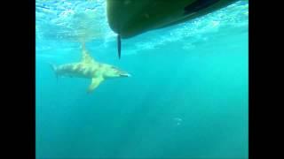 Hammerhead Shark Stalks Kayakers - Pushin