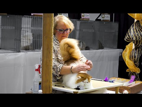 CFA International Cat Show 2017 - Championship BiColor Persians