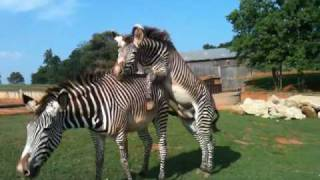 Repeat youtube video Frisky Zebras and more at the Lazy 5